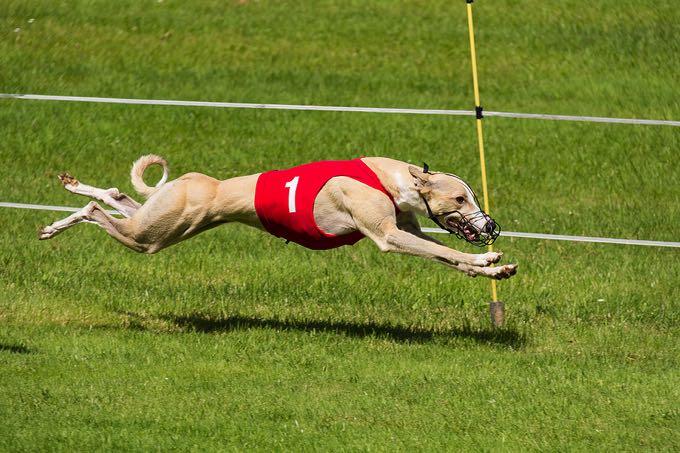 Greyhound action shot