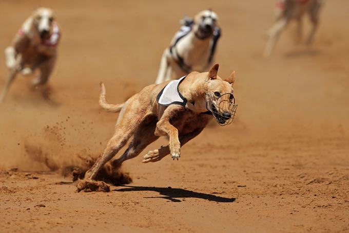 Greyhounds racing at full speed
