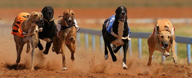 Greyhound racing feature